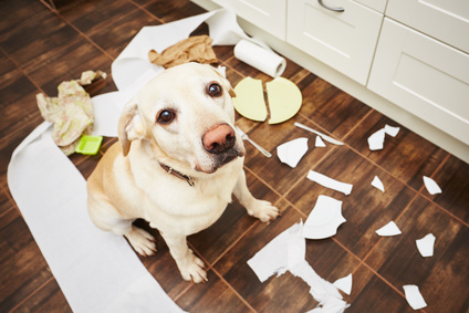 Naughty dog - Lying dog in the middle of mess in the kitchen.